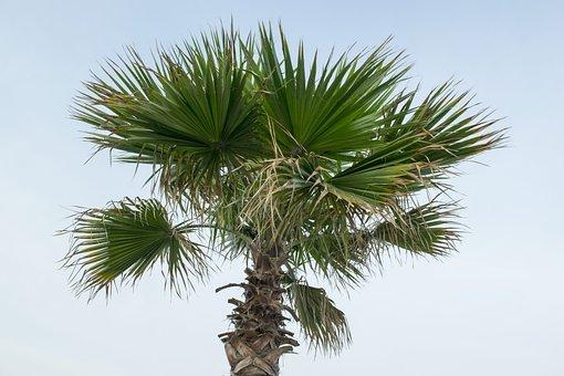 Nature, Tropicale, Summer, Arecaceae, Tree, Palma