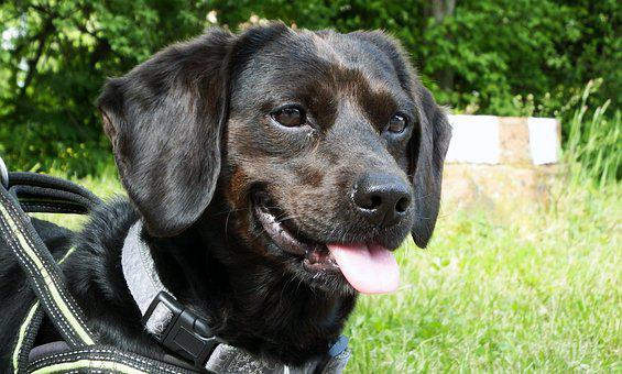 Dog, Pet, Animal, Mammal, Portrait, Smiling Dog, Nature