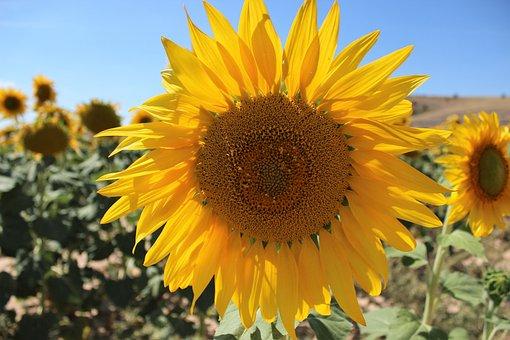 Nature, Plant, Flower, Summer, Helianthus, Floral