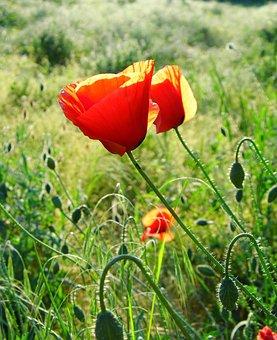 Flower, The Wonders Of Mak, Red