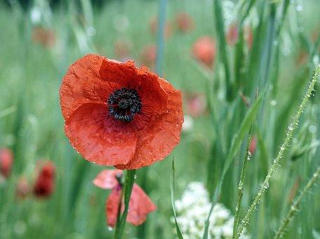 Poppy, Flower, Red, Spring, Field, Wild Flowers, Nature
