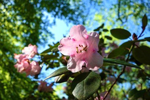 Azalea, Shrub, Flower, Foliage, Rhododendron, Blossom