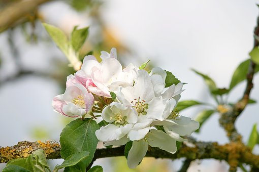 Apple Blossom, Apple Tree, Spring, Blossom, Bloom