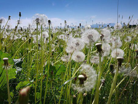 Dandelion, Meadow, Spring, Grass, White, Green