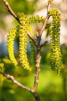 Bud, Spring Shrub, Sun, Hell, Bright, Nature, Hairy