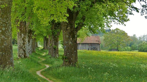 The Summer Linden, Tree, Linde, Avenue, Spring, Summer