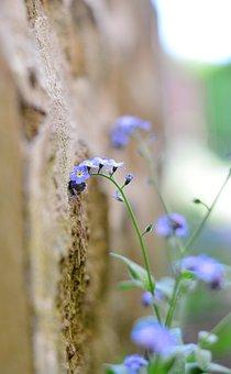 Forget Me Not, Tender, Blossom, Bloom, Wallflower, Wall