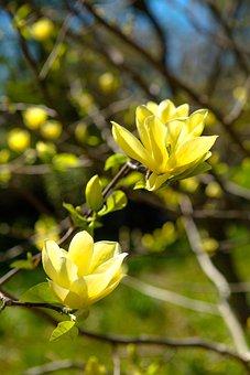 Nature, Plant, Flower, Sheet, Magnolia, Tree, Spring