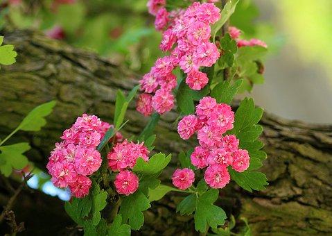 Crataegus, Tree, Flowering, Pink, Nature, Spring