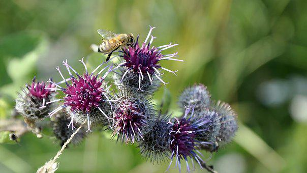 Thistle, Bee, Meadow, Summer, Plant, Weed, Nature