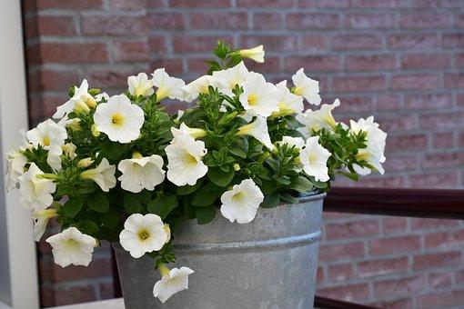 Petunia, Flowers, White, Bloom, White Flower