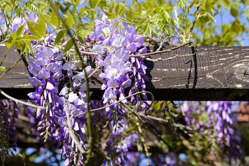 Blue Rain, Wisteria, Glycine, Glycinie, Fabaceae