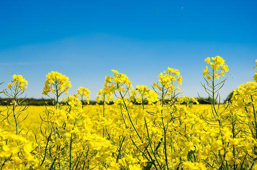 Oilseed Rape, Field, Landscape, Yellow