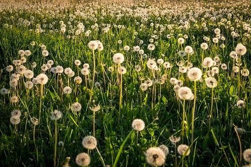 Dandelion, Blossom, Bloom, Yellow, Green, Close Up