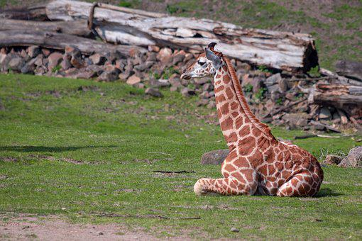 Giraffe, Giraffe Young, Africa, Zoo
