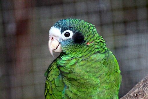 Amazon, Parrot, Amazona Ventralis, Chernouhie Amazon