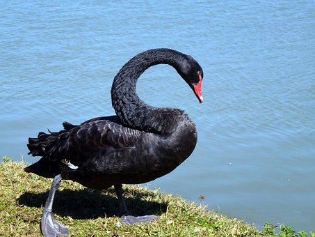 Swan, Black, Bird, Animal, Lake, Water, Feathers