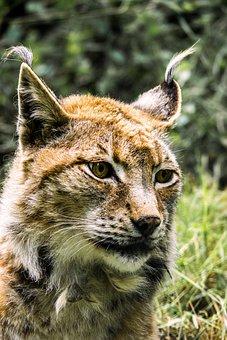 Lynx, Cat, Predator, Wildcat, Animal, Wild, Mammals