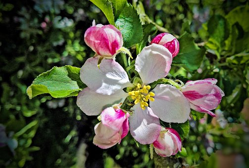Apple Tree, Apple Tree Blossom, White And Pink Flowers