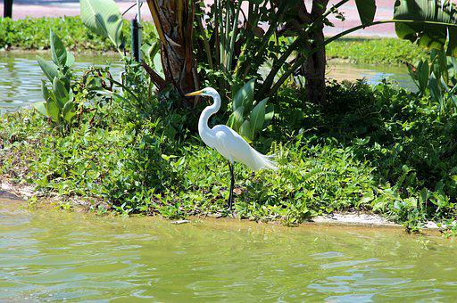 Heron, Ardea Alba, Egret, Not Man, Wild, Long-legged