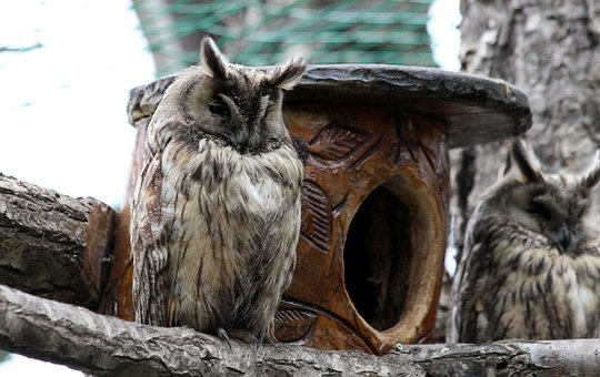 Owl, Asio Otus, Long-eared Owl, Predator, Bird