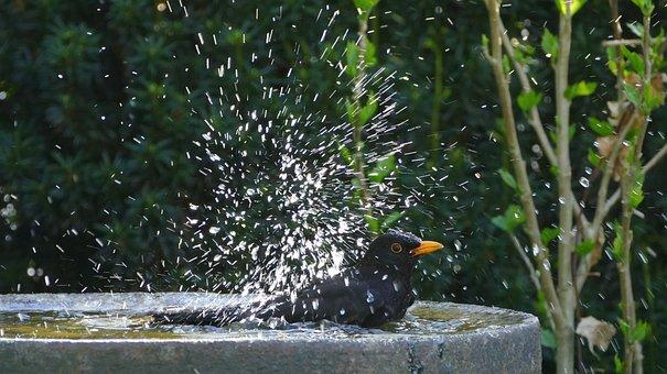 Bird, Black, Blackbird, Bird Bath, Bathing, Nature