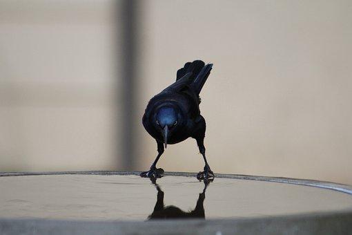 Common Grackle, Bird, Grackle, Nature, Wildlife