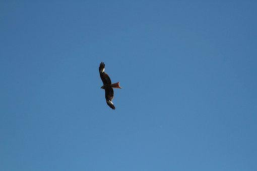 Red Kite, Raptor, Bird Of Prey, Milan, Nature