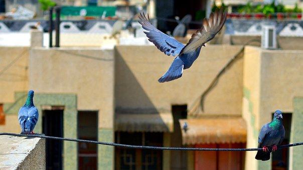 Pigeons, Trio, Birds, Flying, Sitting