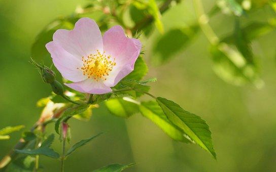 Nature, Flowers, Brambles, Close Up