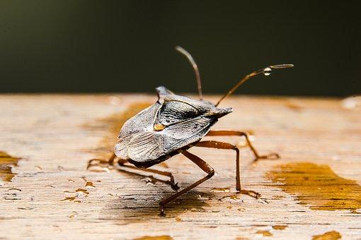 Macro, Stink Bug, Bug, Nature, Close Up