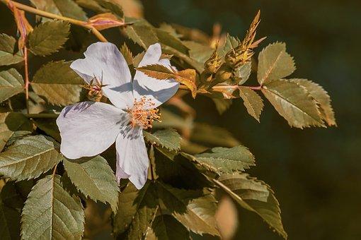 Wild Rose, Bush Rose, Flowers, Pink Corymbifera