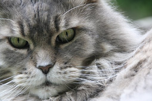 Maine Coon, Cat, Cat Face, Cat's Eyes