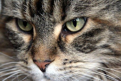 Maine Coon, Cat, Cat Face, Coon