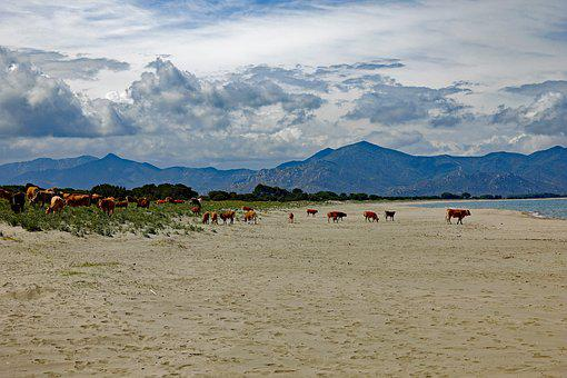 Cows, Freedom, Beach, Cow, Beef, Nature, Summer, Cattle