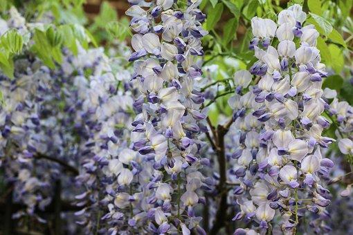 Glycine, Climbing, Purple Flowers, Spring, Plant