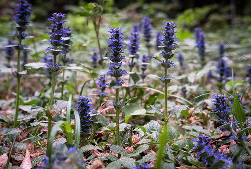 Flowers, Forest, Violet, Purple, Spring, Nature, Close