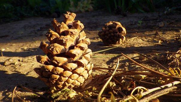 Cone, Pine, Crop, Wood, Pine Cone, Coniferous Tree