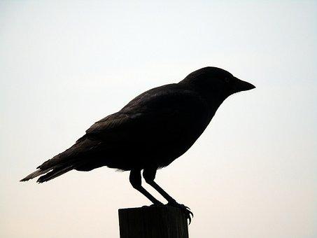 Crow, Silhouette, Black, Bird, Nature, Animal, Raven