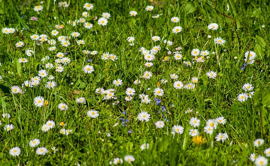 Daisy, Meadow, Daisies, Flowers, Spring, Grass, Nature