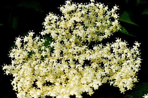 Flower, Elder, Black, Shrub, Flowers, Foliage