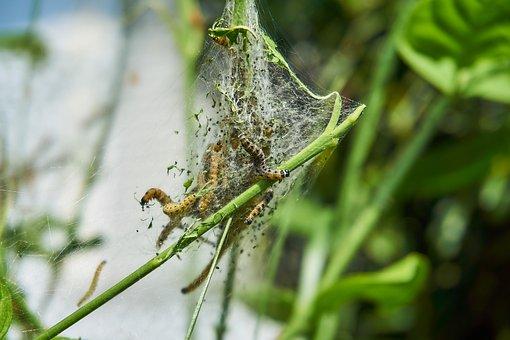 Ermine, Bud Moth, Track, Web, Harmless, May, Jasmin