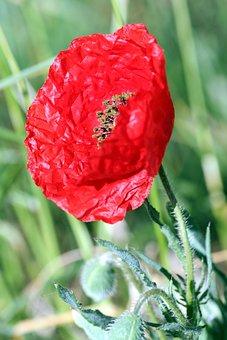 Poppy, Hatching, Red, Flowers, Petals, Fields