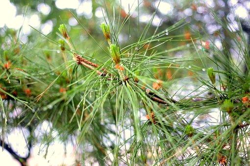 Tree, Nature, Branch, Season, Needle, Flora, Pine