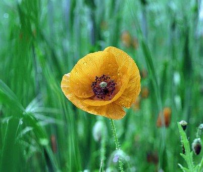Poppy, Yellow, Flower, Beauty, Yellow Flower