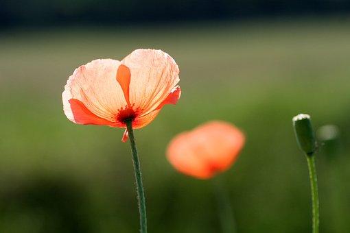Poppies, Flower, Poppy, Fields, Field, Country, Spring