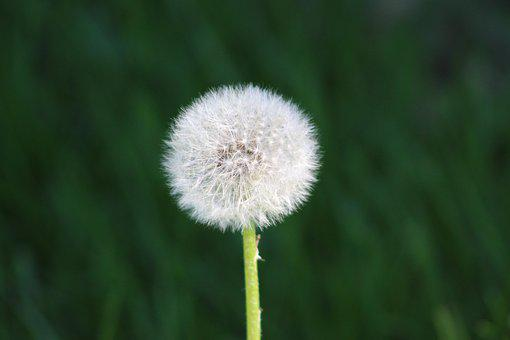 Flower, Dandelion, Common Dandelion, Pointed Flower