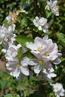 Flowers, Apple Tree, Apple Tree Flowers, Apple Blossom