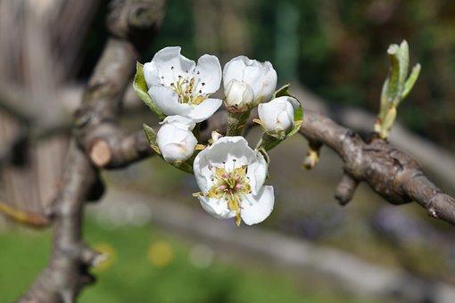 Flower, White, Pera, White Flower, Flowers, Bloom
