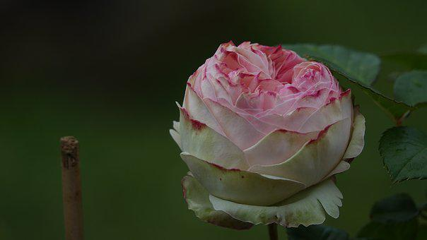 Pink, Evening Storm, Garden